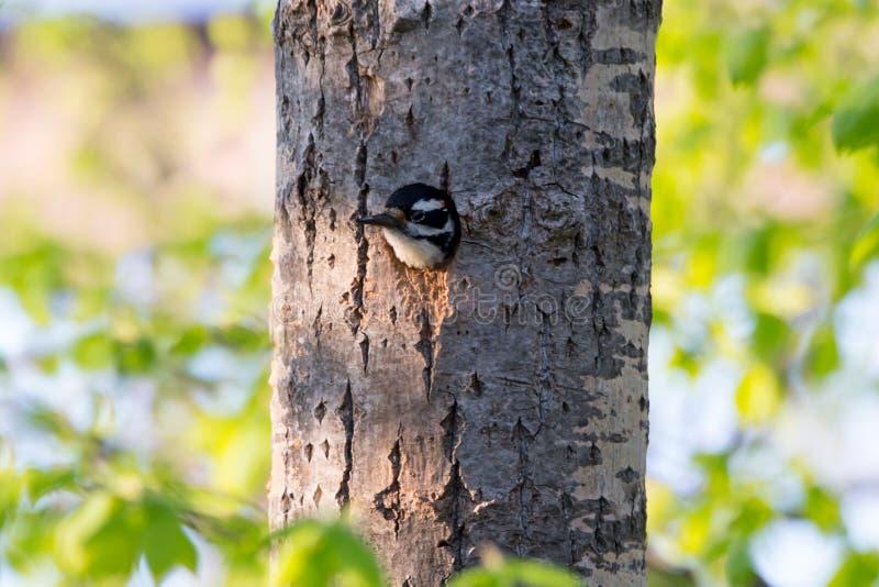Mannelijke Oostelijke harige specht gezien glurend door de ingang van zijn nest stock foto's