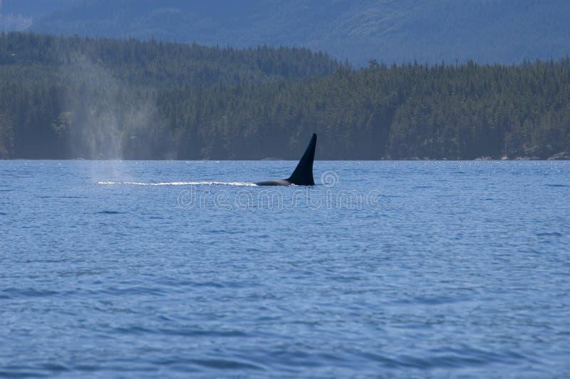 Mannelijke orka stock afbeelding