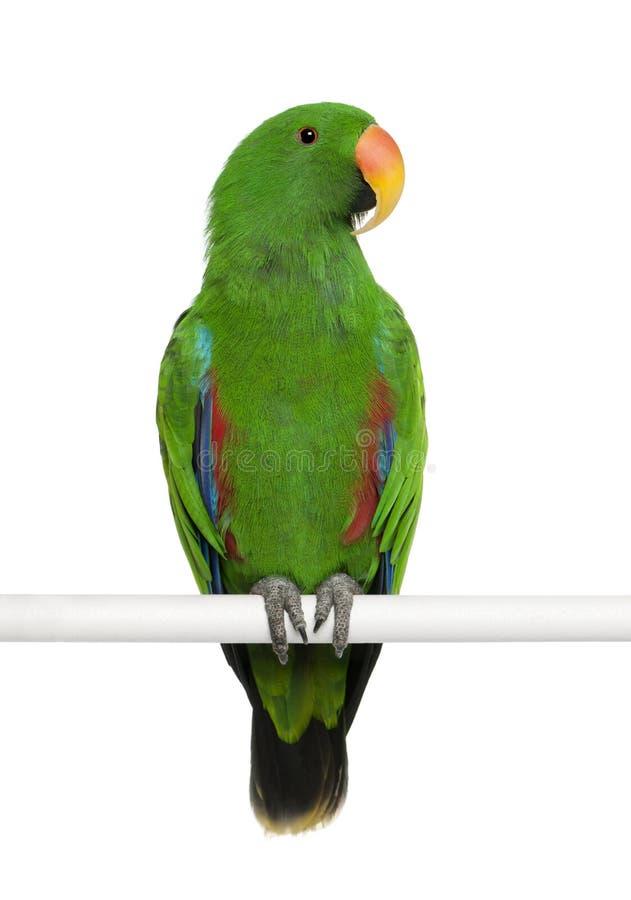 Mannelijke Papegaai Eclectus