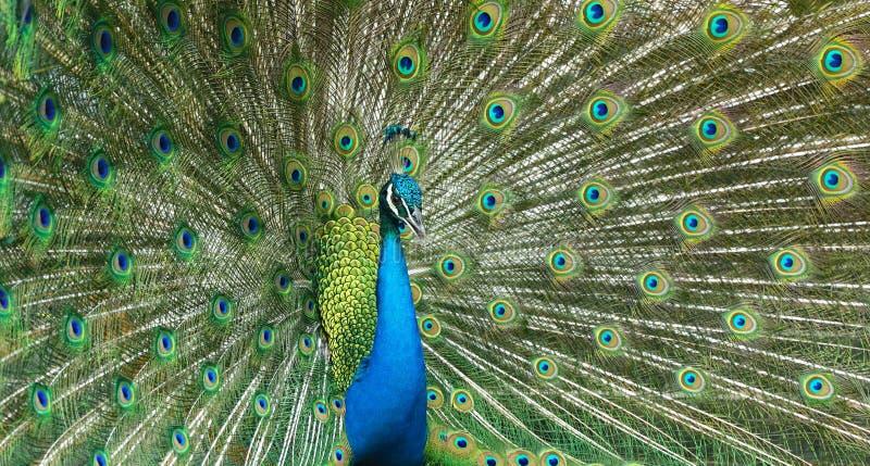 Mannelijke pauw die zijn schitterende staart-veren uitspreiden royalty-vrije stock foto