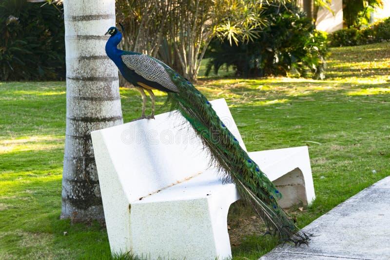 Mannelijke pauwzitting op een witte bank met het kleurrijke staart hangen stock afbeeldingen