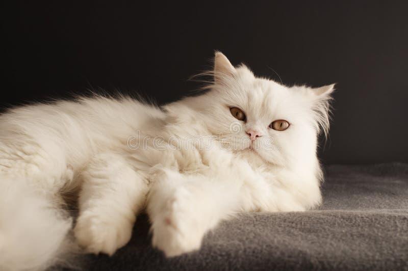 Mannelijke Perzische kat royalty-vrije stock foto's