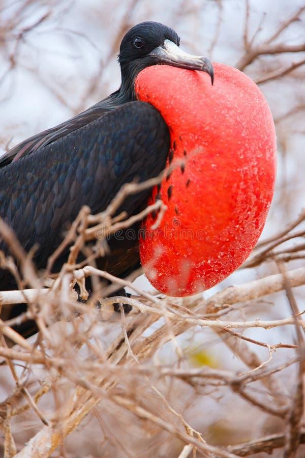 Mannelijke prachtige frigatebird stock afbeelding