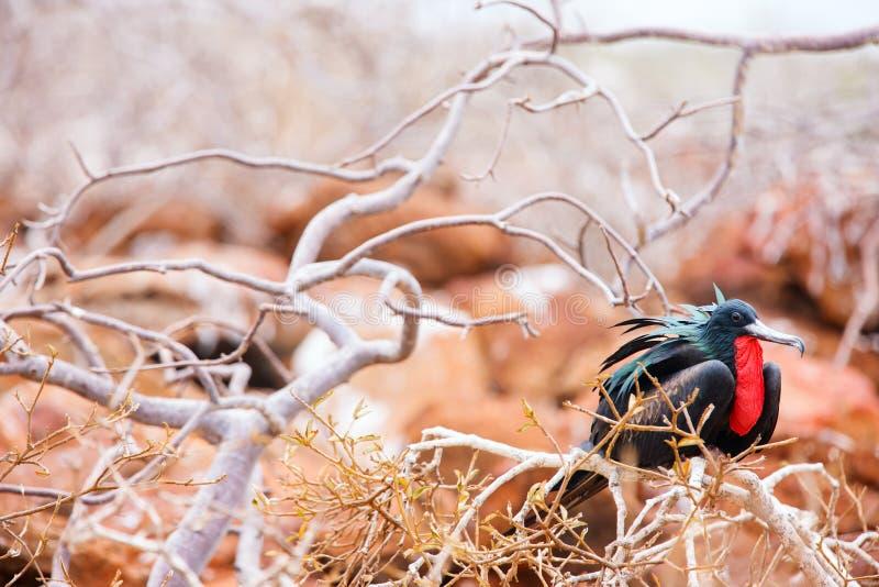 Mannelijke prachtige frigatebird royalty-vrije stock afbeeldingen