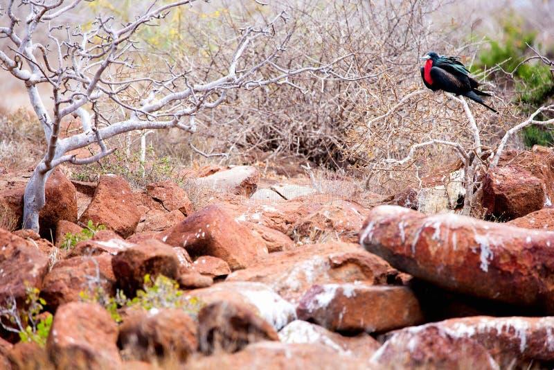 Mannelijke Prachtige Frigatebird royalty-vrije stock foto