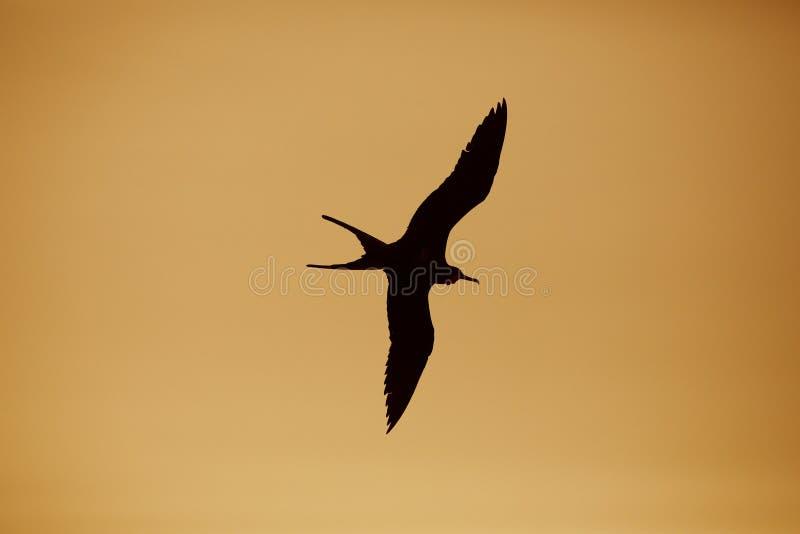 Mannelijke Prachtige Frigatebird tijdens de vlucht - de Eilanden van de Galapagos stock fotografie