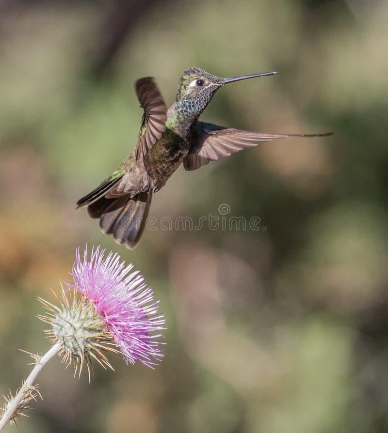 Mannelijke Prachtige Kolibrie stock fotografie