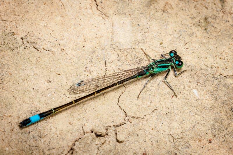 Mannelijke puella van Coenagrion van libel azuurblauwe damselfly stock afbeeldingen