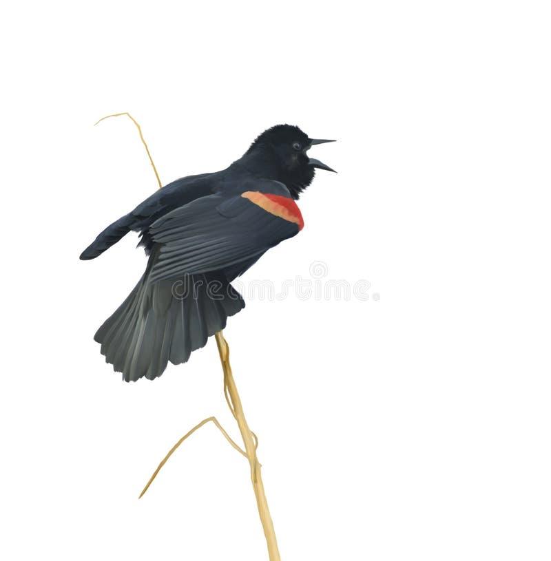 Mannelijke Red-winged Merel royalty-vrije illustratie