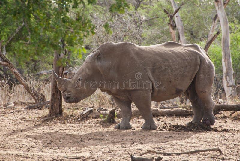 Mannelijke Rinoceros stock fotografie