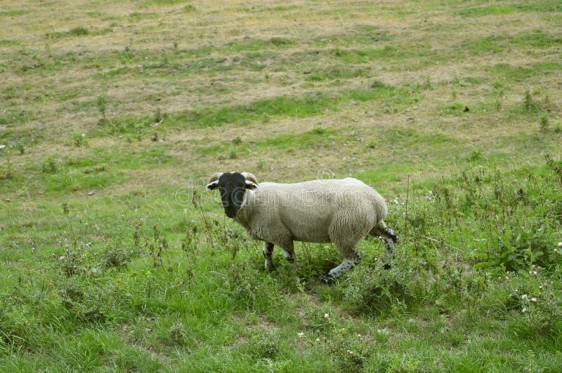 Mannelijke schapenram op een gebied stock foto's