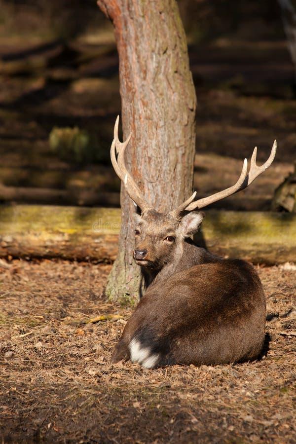 Het mannelijke sikaherten rusten royalty-vrije stock afbeelding