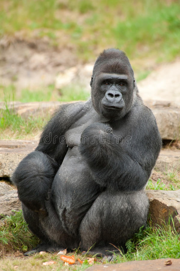 Mannelijke silverbackgorilla royalty-vrije stock foto's