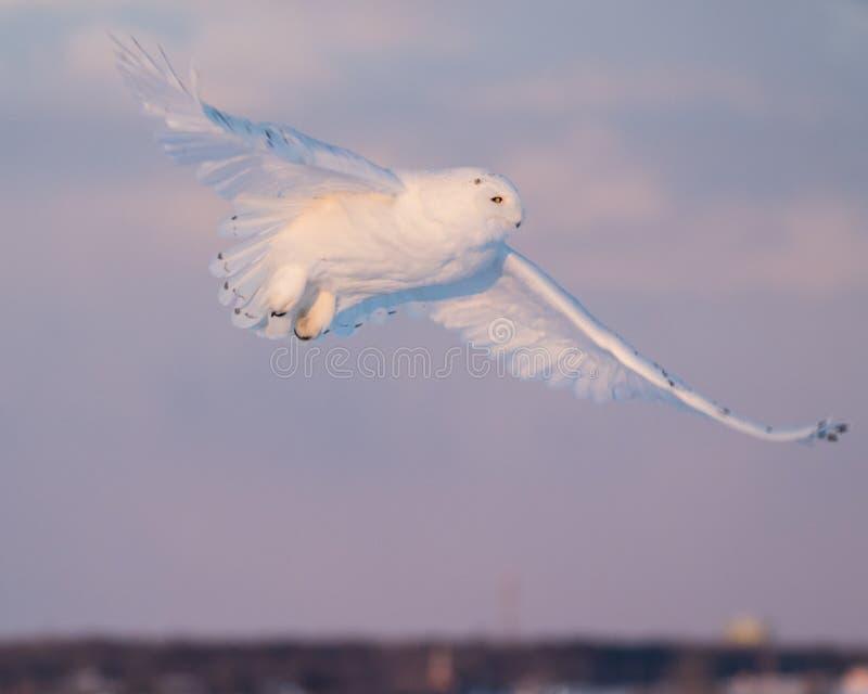 Mannelijke sneeuwuil tijdens de vlucht stock foto