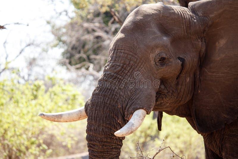 Mannelijke Stierenolifant - Chobe N P Botswana, Afrika stock fotografie