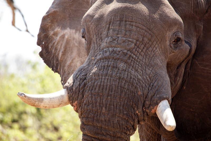 Mannelijke Stierenolifant - Chobe N P Botswana, Afrika royalty-vrije stock fotografie