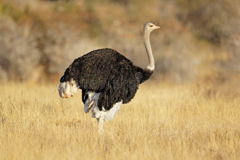 Mannelijke struisvogel in natuurlijke habitat stock foto's