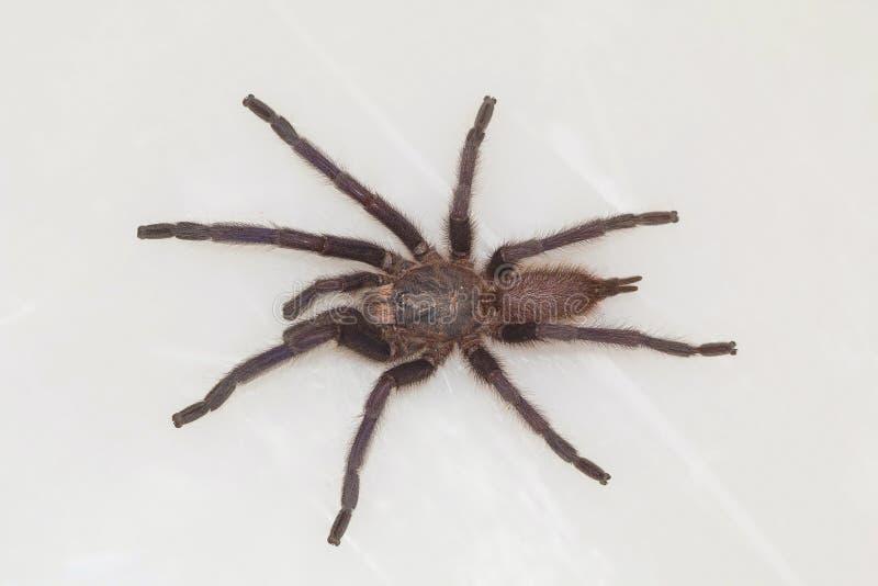 Mannelijke tarantula van de soort Chilobrachys Visakhapatnam stock foto's