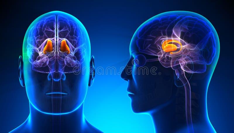 Mannelijke Thalamus Brain Anatomy - blauw concept stock illustratie