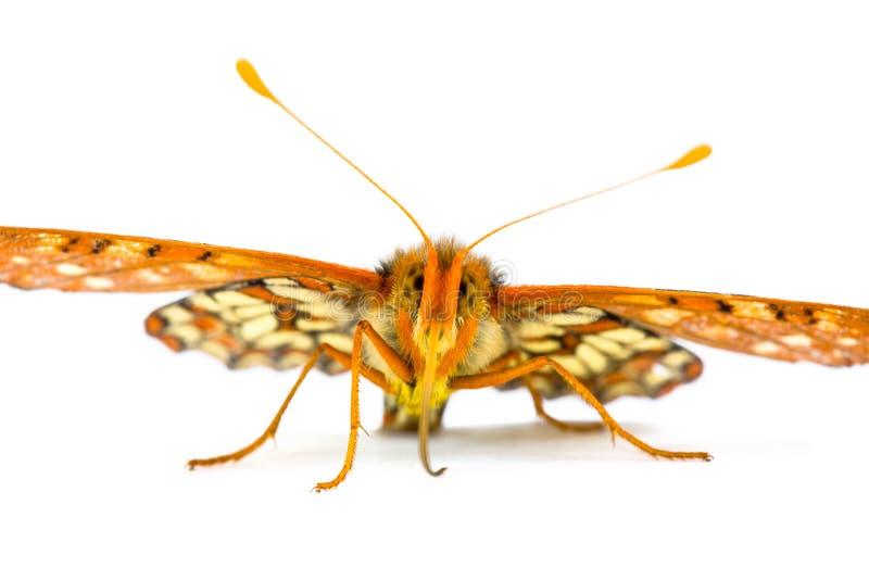 Mannelijke Veranderlijke Checkerspot Vlinder, Euphydryas CH royalty-vrije stock afbeeldingen