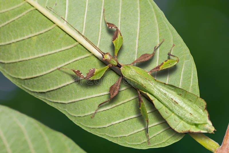 Mannelijke volwassen ericoriai van Phyllium van het bladinsect stock afbeelding