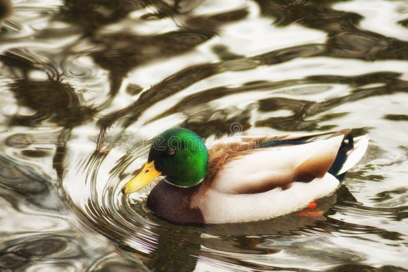 Mannelijke Wilde eendeend die in een vijver zwemmen stock fotografie