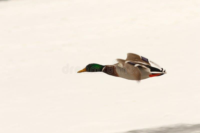 Mannelijke wilde eendeend die over bevroren rivier vliegen royalty-vrije stock fotografie