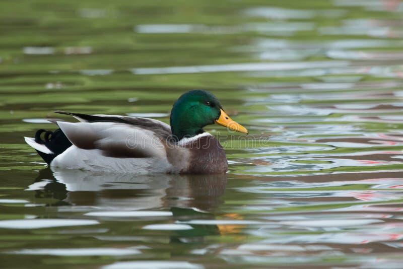 Mannelijke wilde eendeend die in vijver zwemmen stock fotografie
