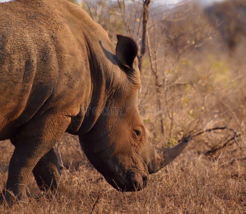 Mannelijke witte rinoceros met grote hoorn royalty-vrije stock fotografie