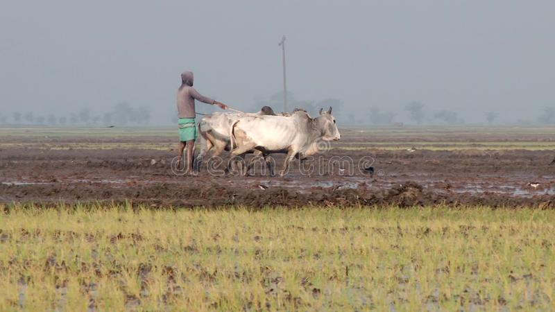 Mannen arbetar på risfältet i Jessore, Bangladesh arkivfilmer