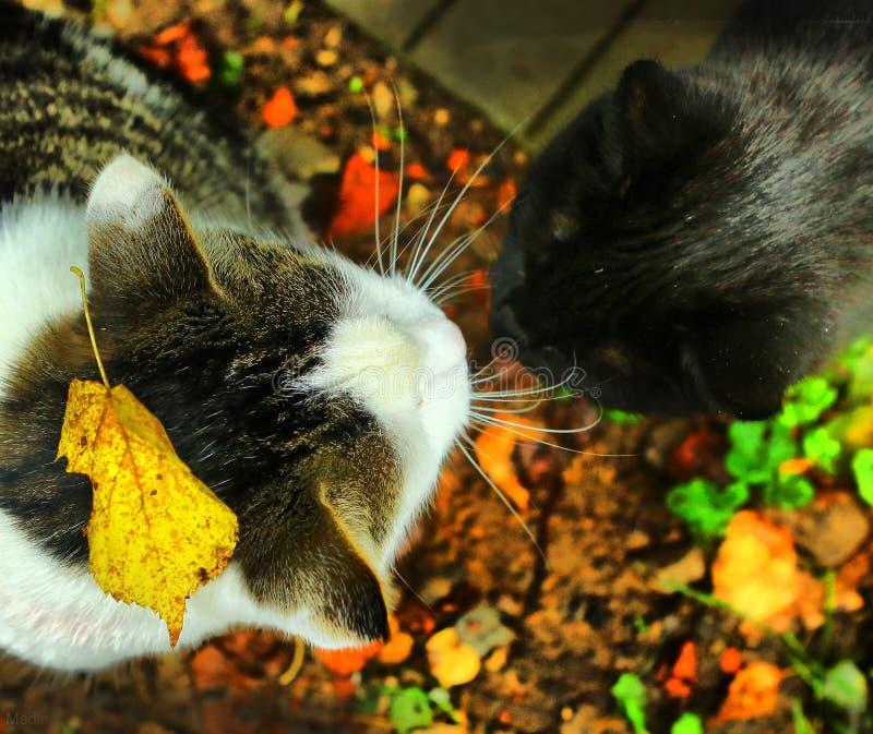 Mannen för två katter och femile får acquanted royaltyfri bild