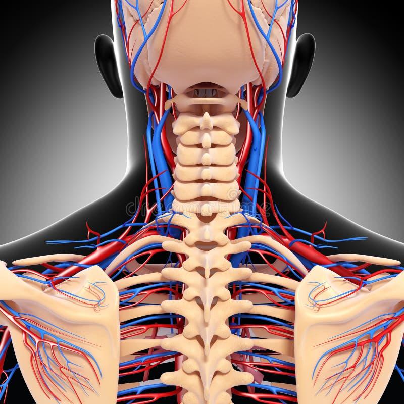 Mannen head tillbaka det cirkulations- systemet för sikten vektor illustrationer