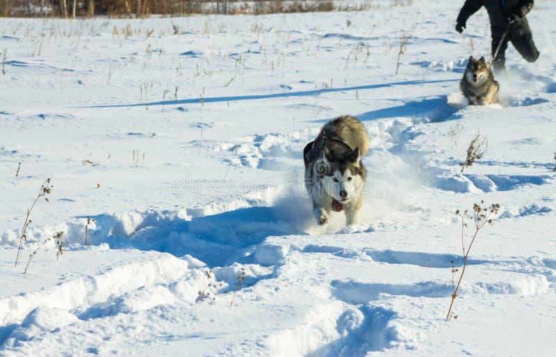 Mannen kör med skrovligt och wolfdog på koppeln i snön royaltyfri bild