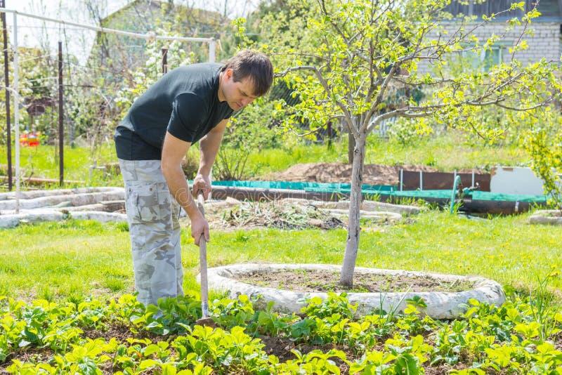 Mannen lossar jordningen under jordgubbarna på deras sommarställe arkivbild