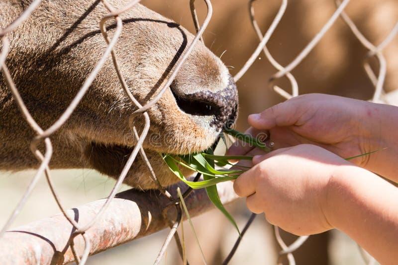 Mannen matar djuret bak staketet på zoo royaltyfri bild