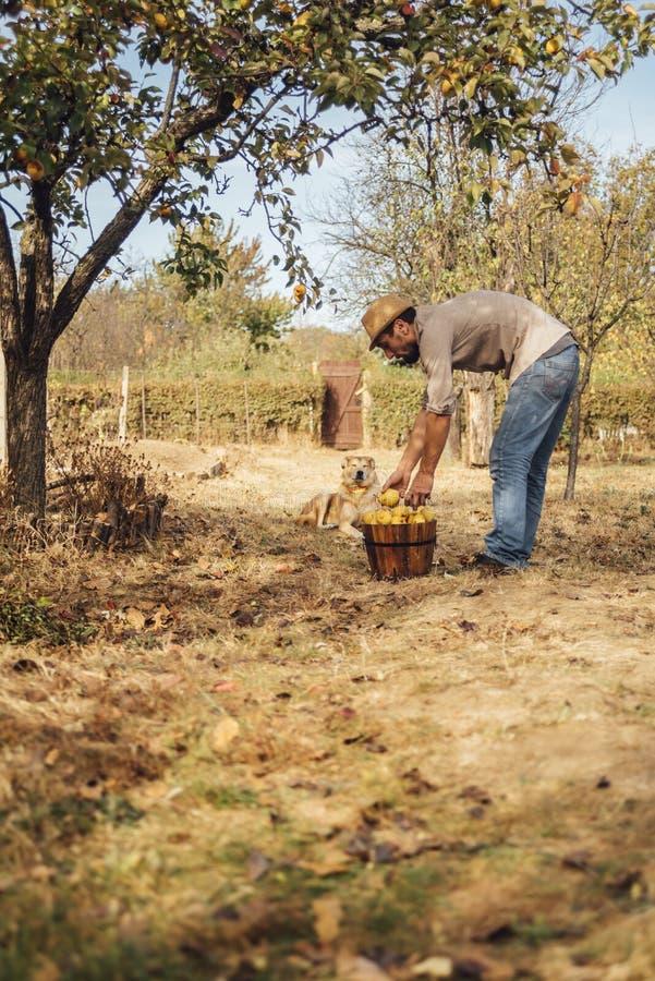 Mannen med hans hund väljer upp päronen från jordningen royaltyfri foto