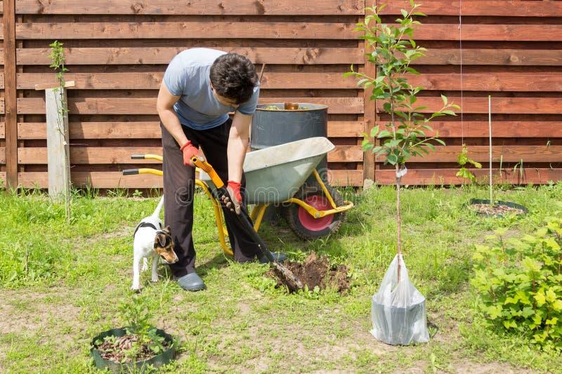 Mannen med hunden planterar en körsbär i trädgård royaltyfria bilder