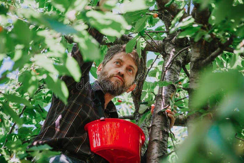 Mannen med skägget på träd samlar röda körsbär royaltyfri foto