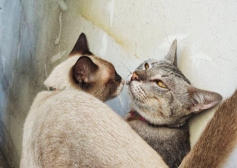 Mannen och de kvinnliga katterna kysser sig nära den gamla murbrukväggen som är frank förälskelse av det djura begreppet royaltyfria bilder