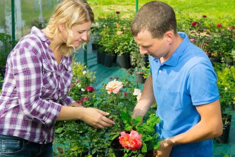 Mannen och kvinnan tar omsorg av en ros i en blomkruka royaltyfri foto