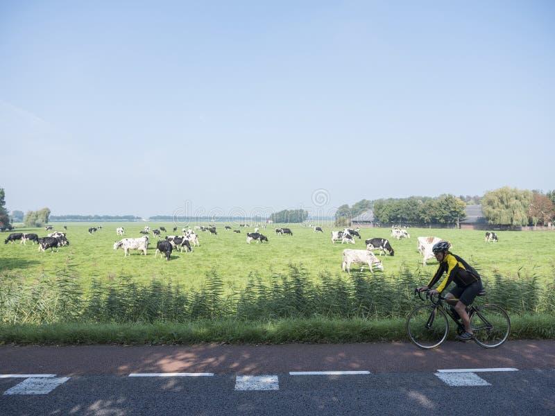 Mannen på cykeln passerar kor under blå himmel i grön ängbetwee royaltyfria foton