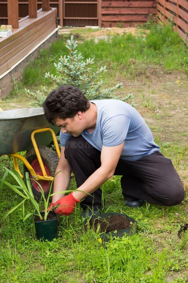 Mannen planterar daylilyen i en trädgård arkivbilder