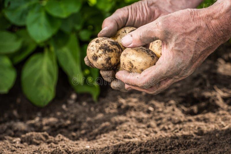 Mannen räcker att skörda nya potatisar från trädgård fotografering för bildbyråer