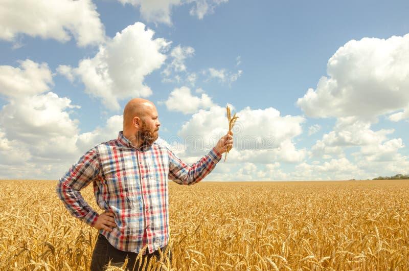 Mannen rymmer ett moget vete Manhänder med vete Vetefält mot en blå himmel veteskörd i fältet Mogen vetecloseup royaltyfri foto
