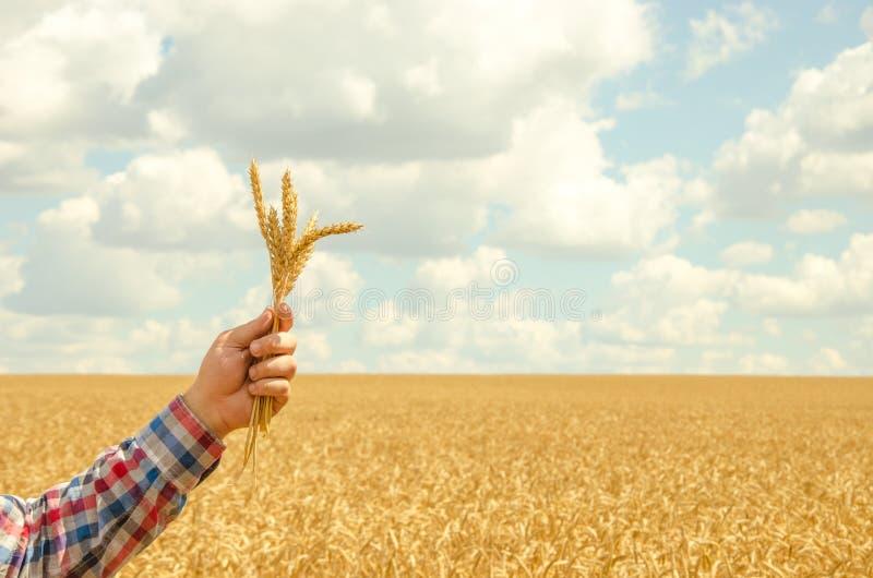 Mannen rymmer ett moget vete Manhänder med vete Vetefält mot en blå himmel veteskörd i fältet Mogen vetecloseup royaltyfria bilder