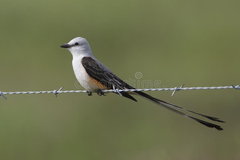 Mannen Scissor-tailed flugsnapparen som sätta sig på staketet Wire - Texas arkivfoto
