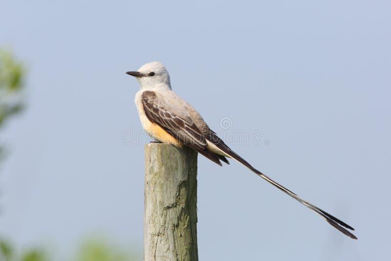 Mannen Scissor-tailed flugsnapparen som sätta sig på staketstolpen - Texas royaltyfri fotografi