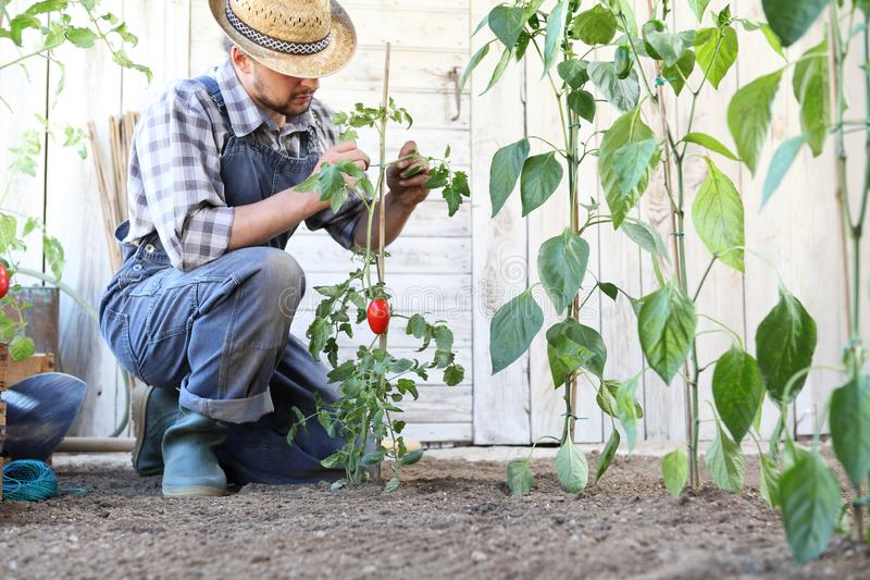 Mannen som arbetar i bandet för grönsakträdgården upp tomatväxterna, tar omsorg att göra dem att växa royaltyfria bilder