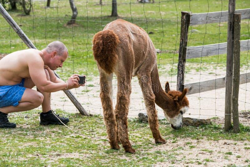 Mannen tar lamabilden utanför zoo arkivfoto