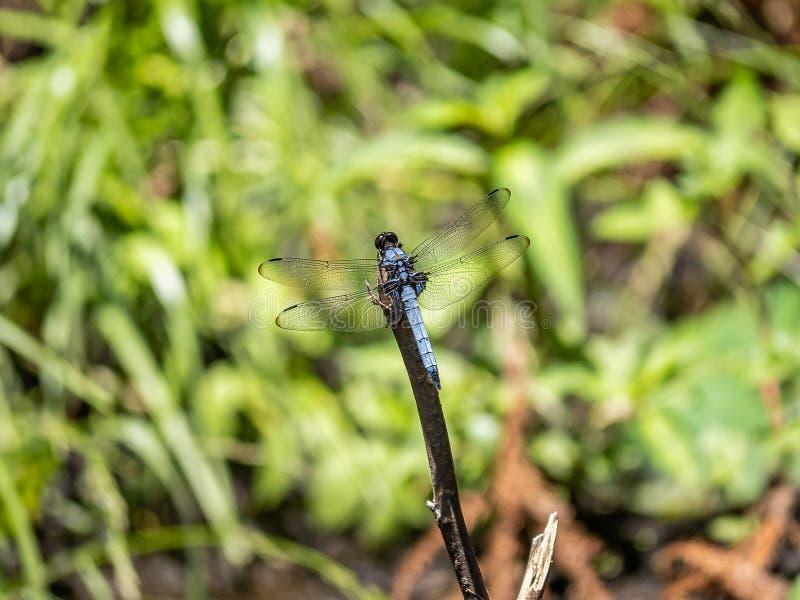 Mannen vit-tailed sländan på för att fatta 1 fotografering för bildbyråer